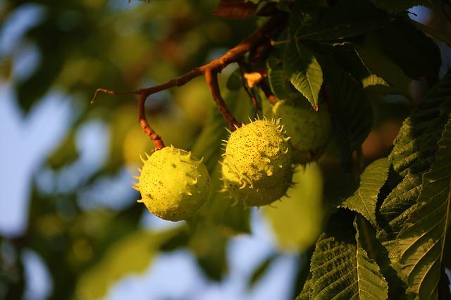La pianta di ippocastano: prorietà e benefici